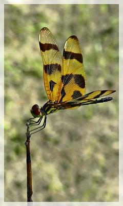 dragonfly - Halloween pennant