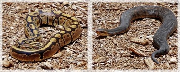 bald python and florida cottomouth snakes