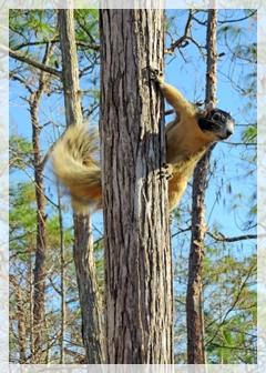 big-cypress-fox-squirrel