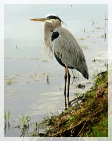 great-blue-heron