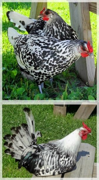hens-wis00873-crop-vertweb