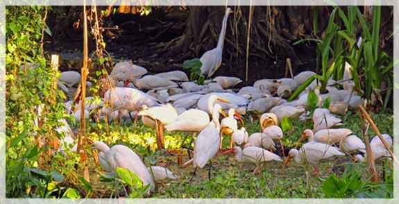 ibis - corkscrew swamp sanctuary