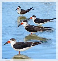 Black Skimmers - Clam Pass