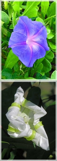 beach morning glory - moon flower