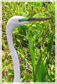 great egret - breeding lores