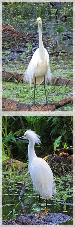 great egret - snowy egret - Corkscrew