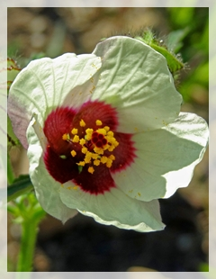 flower-of-an-hour -Hibiscus trionum
