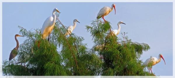 heron-ibis-egrets-Freedom Park
