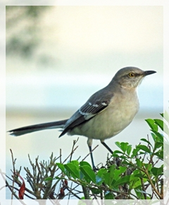 southern mockngbird
