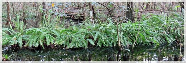 nursery log - corkscrew swamp
