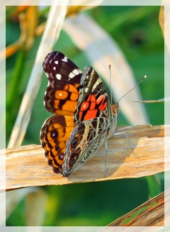 Painted Lady-butterfly