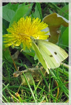 cabbage white butterfly - dandelion