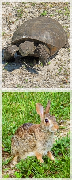 gopher tortoise - rabbit