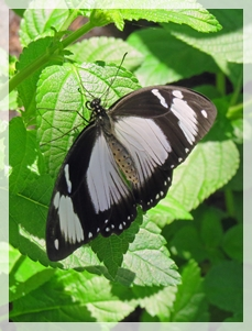 black white butterfly