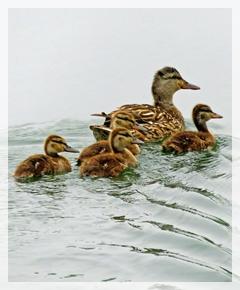 mallard - baby duckings