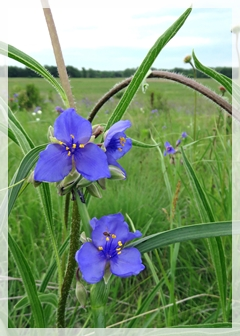 spiderwort - wild flower