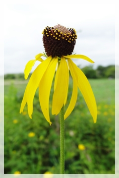 gray-headed or prairie coneflower