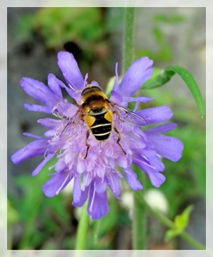 field scabious - bee