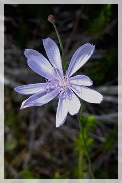 roserush wildflower