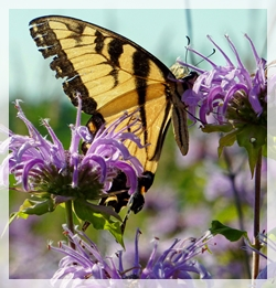 TIGER SWALLOWTAIL BUTTERFLY - WILD BERGAMOT