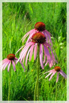 pale purple cone flower