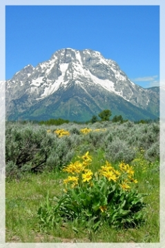 Grand Tetons - rubber rabbit brush