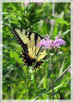 tiger swallowtail butterfly on bergamot