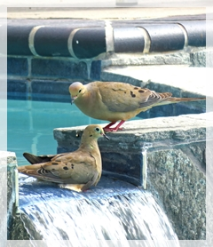 mourning doves in pool