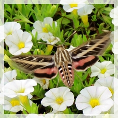 hummingbird moth - sphinx moth