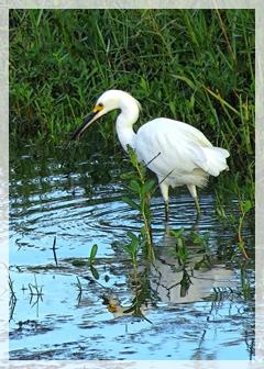 snowy egret - corkscrew
