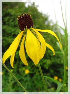 prairie coneflower - grey-headed coneflower