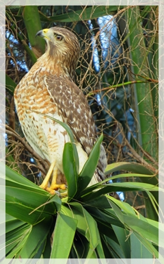 red-shoudered hawk