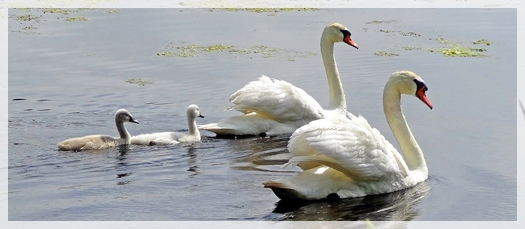Mute swan - cygnets