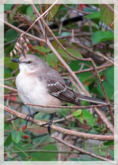 southern mockingbird
