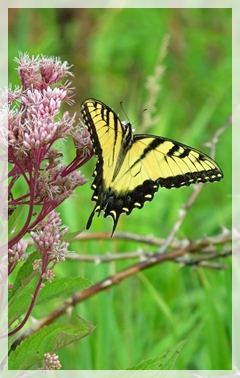 Riger Swallowtail