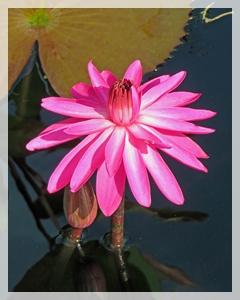 waer lily