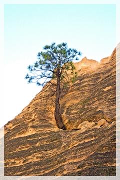 pine - tent rocks - NM
