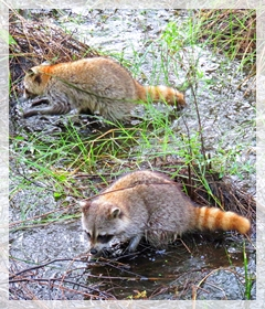 raccoons - Corkscrew swamp sanctuary
