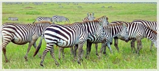 zebras - serengetti - tanzania