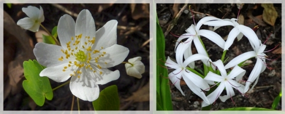 rue anemone - swamp lily