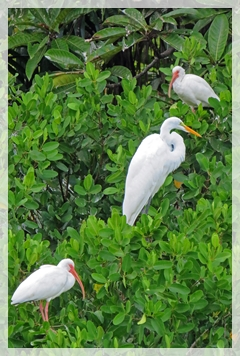ibis - great egret - corkscrew