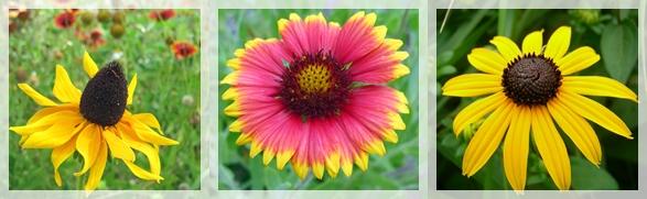 prairie coneflower - blanket flower - black-eyed susan