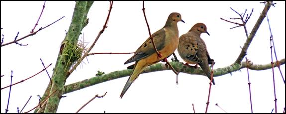 murning doves