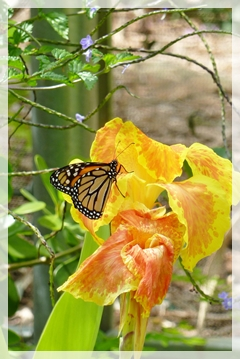 monarch butterfly - canna