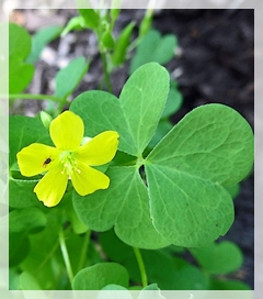 wood sorrel - shamrock