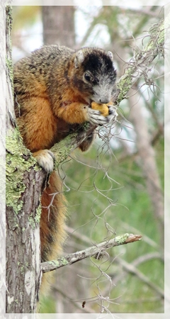 BIG CYPRESS FOX SQUIRREL