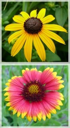 black eyed susan - blanket flower