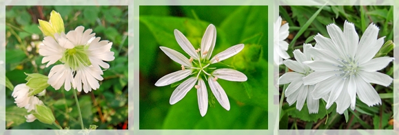 starry campion - mouseeared chickweed - chicory