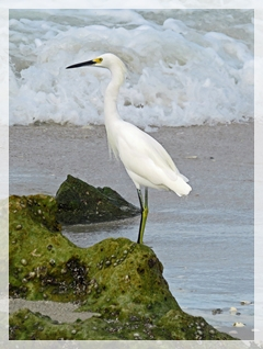 snowy egret - clam pass