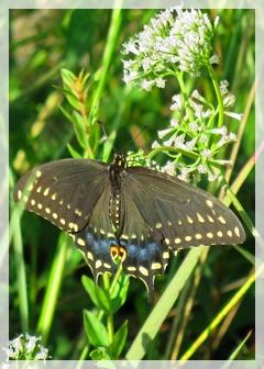 black swallowtail - butterfly